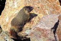 Marmot baby on rock in Montana