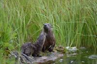 River Otter Mom and baby grooming on land