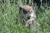 Wolf in grass laying 1