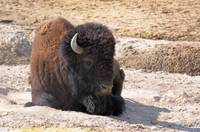 Yellowstone Bison close up lying down