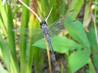 107 Pixie Wings - Dragonfly
