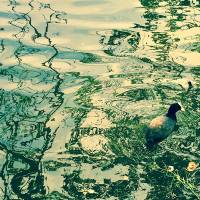 Hello Friend - Duck in a pond Art Prints & Posters by Franco Esteve