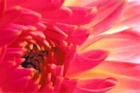Complexity of a Chrysanthemum