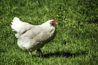 White Rock Hen