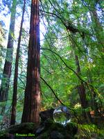Crystal Ball in the Redwood Forest