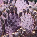 """Purple Cactus Closeup"" by Groecar"