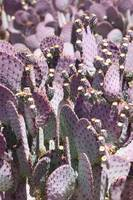 Purple Cactus Vertical
