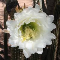 White Cactus Flower Square
