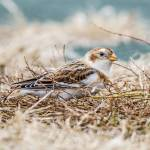 """Snow Bunting"" by WildAboutNaturePhotography"