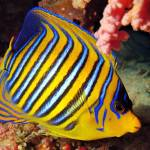 """PeacokAngelfish20-DEC-2005mm28f8Sharm"" by JoaoPonces"