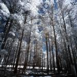 """Tall Trees Infrared"" by ldfranklin"