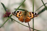 Painted Lady Butterfly #2 2016