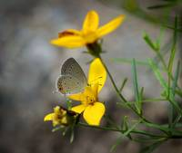 Shy Eastern Tailed Blue Butterfly 2016