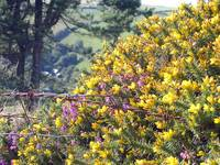 Gorse and Barbed wire