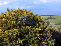 Gorse and Coastline