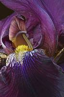 German iris flower