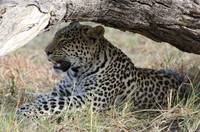Young Male Leopard