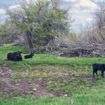 """BlackAngusTwoCalves_000_0352"" by diane"