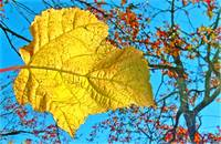 Wanted: One Yellow Leaf