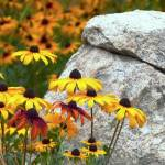 """Black Eyed Susan Flowers With Rock P1050585"" by almarphotography"