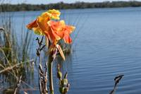 Flowers of the Florida Swamp 3