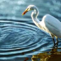 Ethereal Egret Art Prints & Posters by Chris Crowley