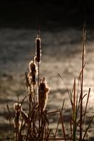 Withered Cattail