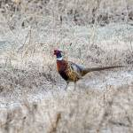 """""""Ring-necked Pheasant"""" by WildAboutNaturePhotography"""