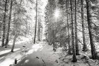 Winter Sunshine Forest Shades Of Gray