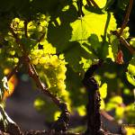 """Sonoma County Vineyard P9023338 (2)"" by Wintercreeks"