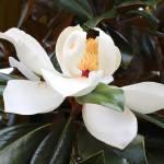 """""""Elegant Magnolia"""" by Groecar"""