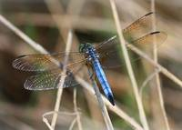 Dreamy Blue Dragonfly