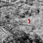 """Red Bird-4583"" by cleonard"