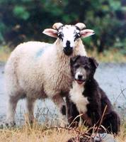 Young Sheep andSheep Dog