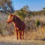 """Assateague Wild Horse"" by WildAboutNaturePhotography"