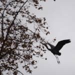 """""""Great Blue Heron In Flight"""" by akstp"""