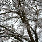 """Frosty Tree Limbs"" by Groecar"