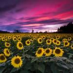 """Sunflower Sunset"" by cyorkphoto"