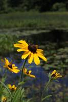 Black-eyed susan 0830