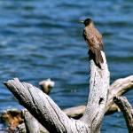 """Robin at Manzanita Lake Lassen National Park  091"" by Wintercreeks"