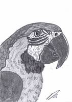 Macaw Parrot Sketch