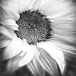 """""""FLOWER.daisy4"""" by RubinoFineArt"""