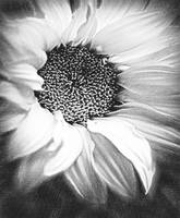 Sunflower White And Black