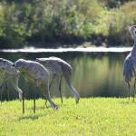 """Feeding Sandhill Cranes with Lookout"" by Groecar"