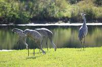 Feeding Sandhill Cranes with Lookout