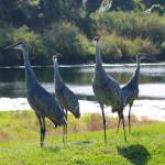 """Sandhill Crane Congregation"" by Groecar"