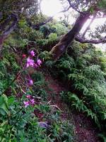 Hawaiian Orchid Trail