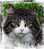 Decorative Maine Coon Cat A4122016
