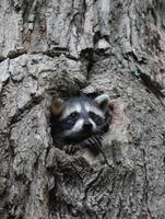 Raccoon poking out of tree 5664
