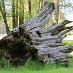 """Weathered Tree Trunk"" by Groecar"